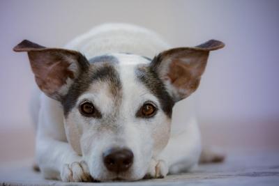 Plaučių hipertenzija šunims: simptomai, priežastys ir gydymas
